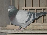 gołąb pocztowy PL-160-98-163
